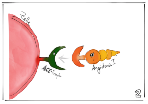 Angiotensin 1 passt zum ACE-Rezeptor an einer Zelle. Illustration: Elisabeth Greger
